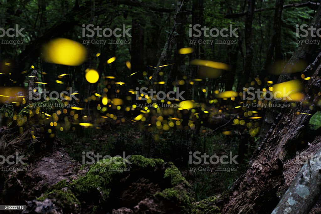 Firefly. Night in the forest with fireflies. Multiplication. stock photo