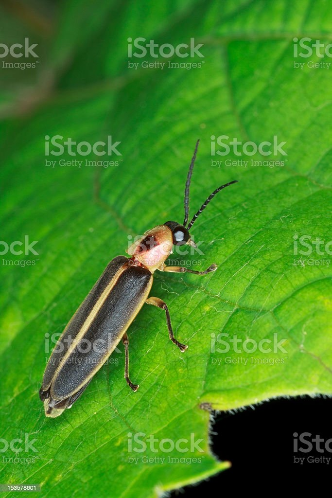 Firefly on a leaf stock photo