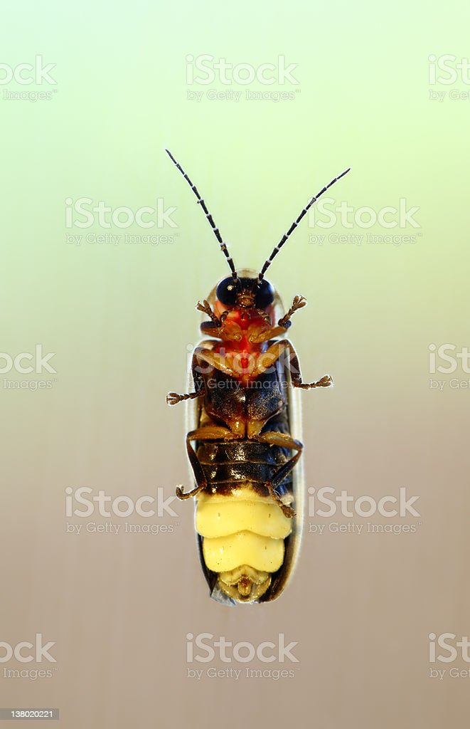 Firefly royalty-free stock photo