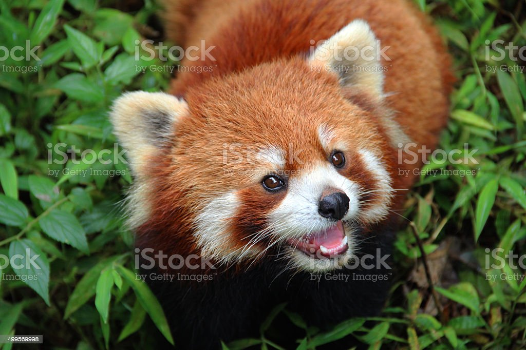 Firefox, the Red Panda in Chengdu, China stock photo