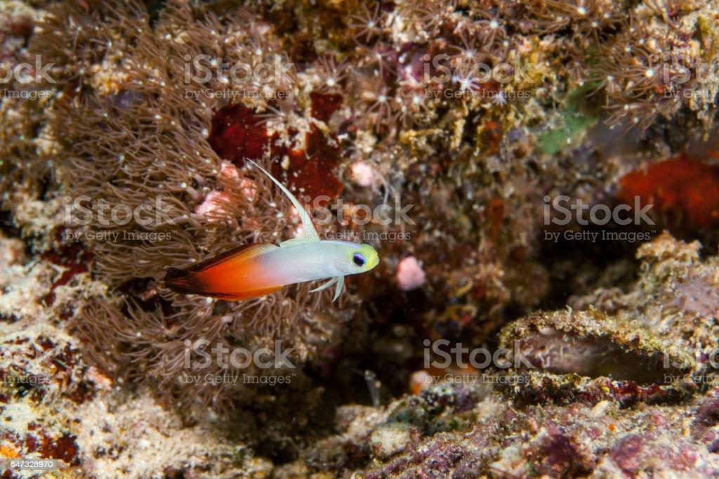 Firegoby fish close-up. Sipadan island. Celebes sea. Malaysia. stock photo