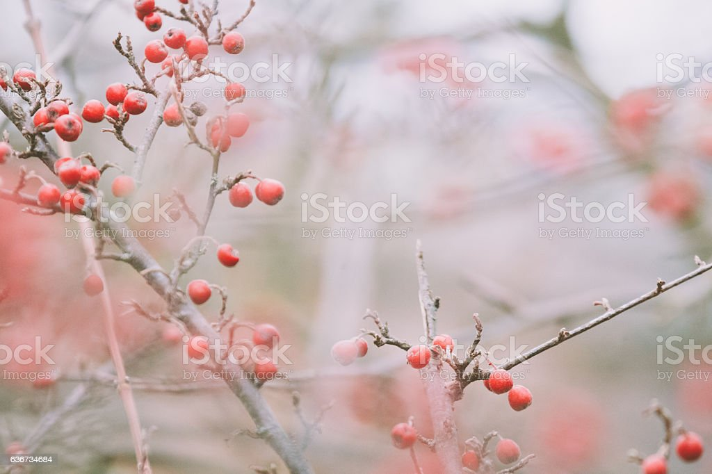 Firethorn [genus Pyracantha] in winter stock photo