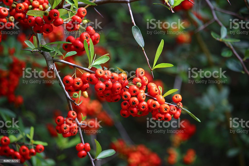 Firethorn or Pyracantha Berries stock photo