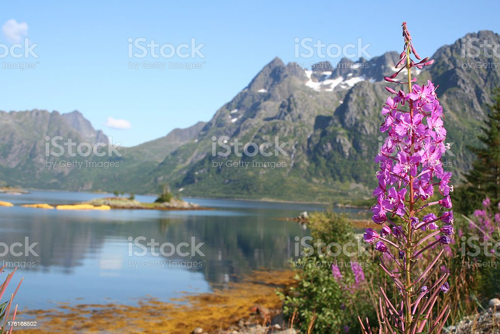 Fireweed and Norvegian Fjord royalty-free stock photo