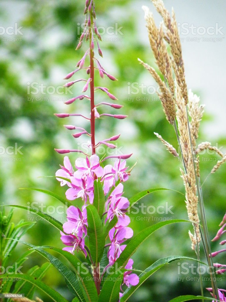 Fireweed and wild grass stock photo