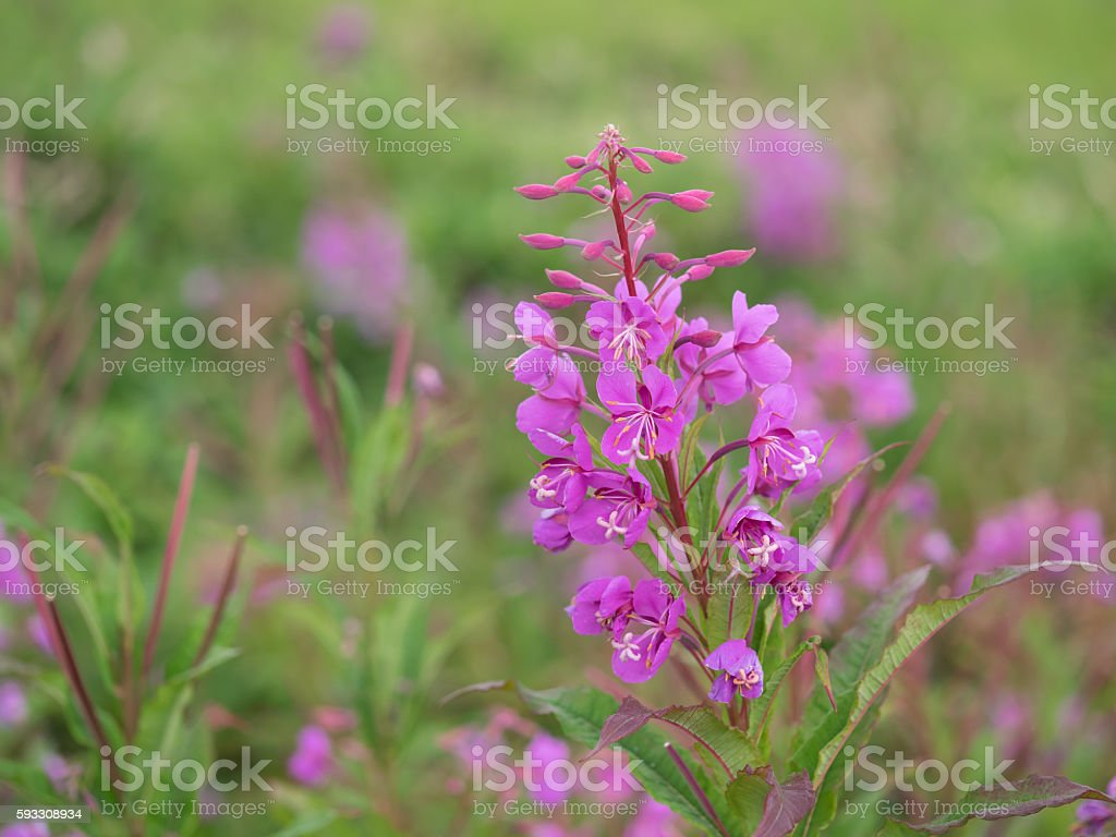 Fireweed blooms in summer plateau stock photo