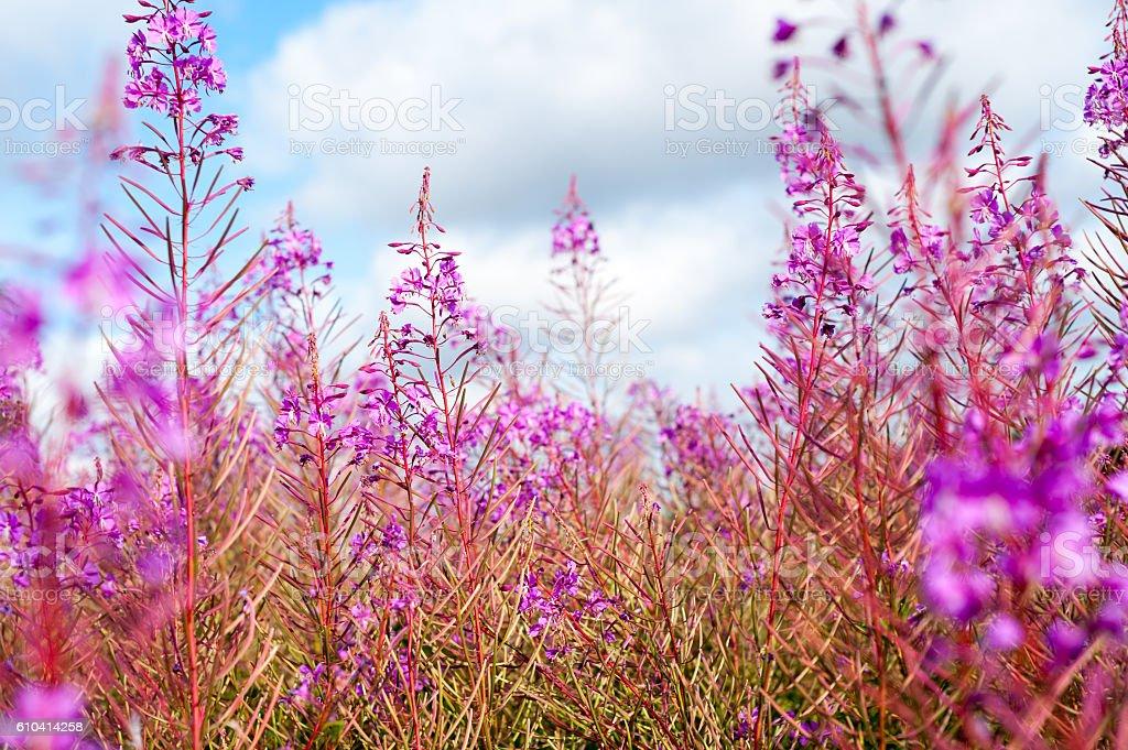 Fireweed Chamerion angustifolium in daylight stock photo