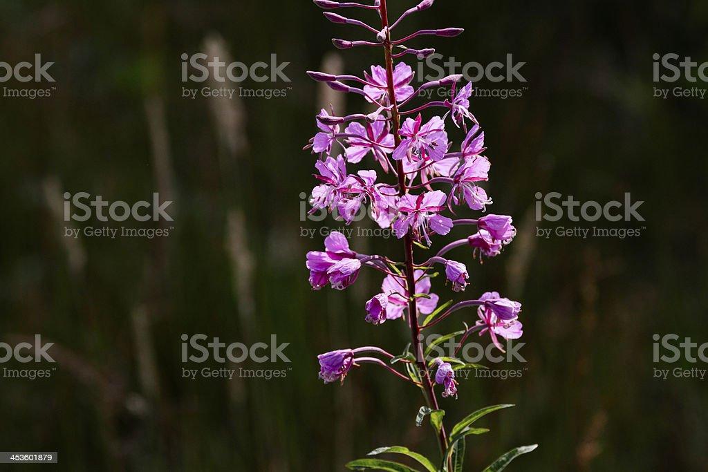 Fireweed Epilobium angustifolium mauve flowers backlit royalty-free stock photo