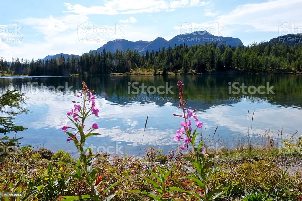 Fireweed flowers and calm lake with reflection. stock photo