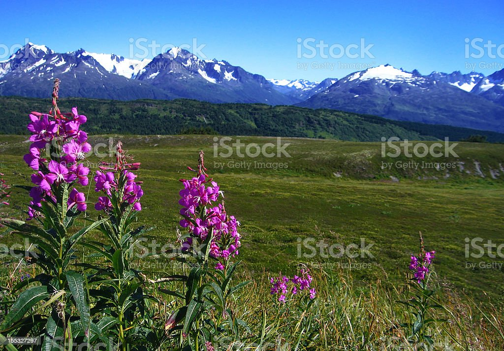 Fireweed Flowers, Green Tundra, and Glaciated Mountains stock photo
