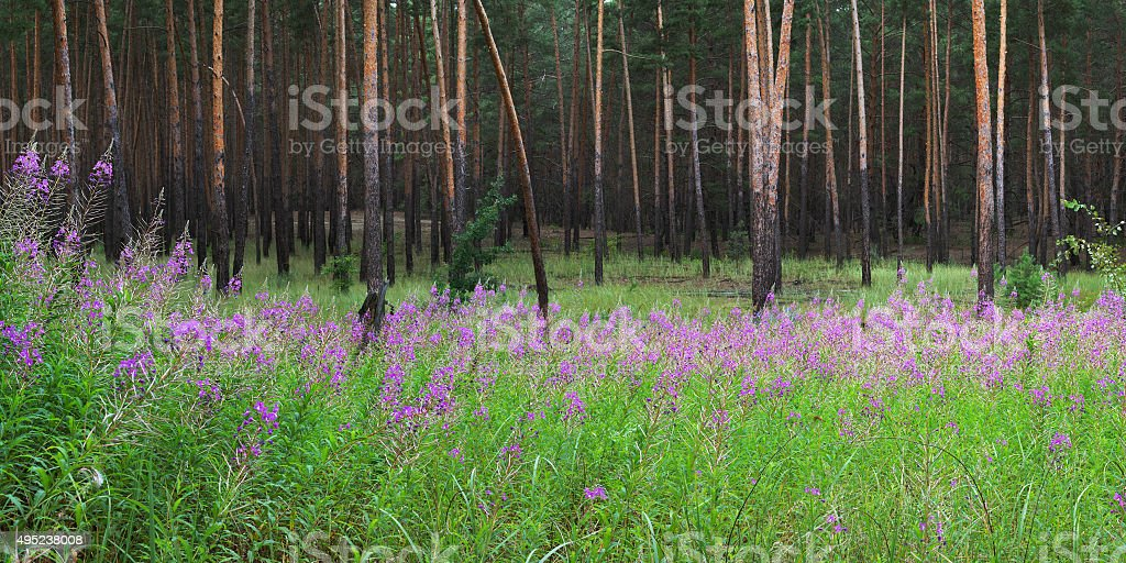 Fireweed flowers in pine forest stock photo
