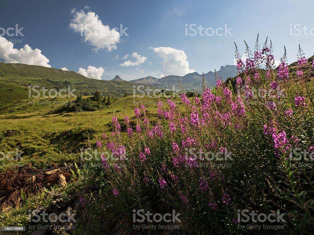 Fireweed in an alpine landscape, Schmalb?ttrige Weidenr?schen (Epiobium angustifolium) stock photo