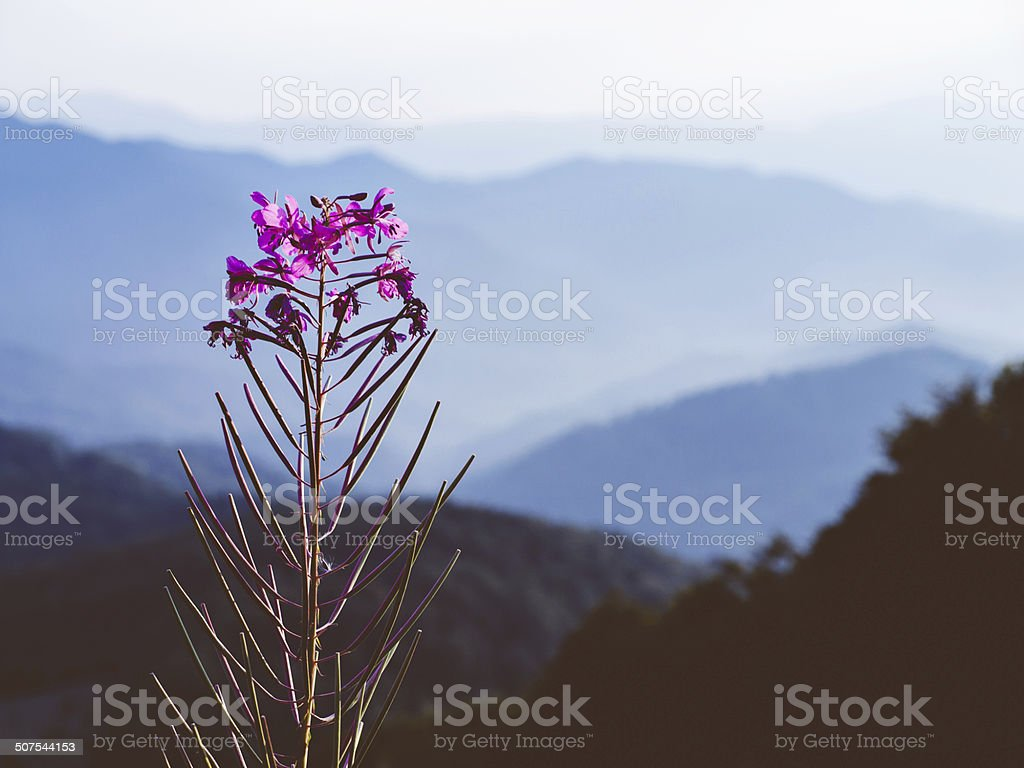 Fireweed in blossom with beautiful mountains at the background stock photo