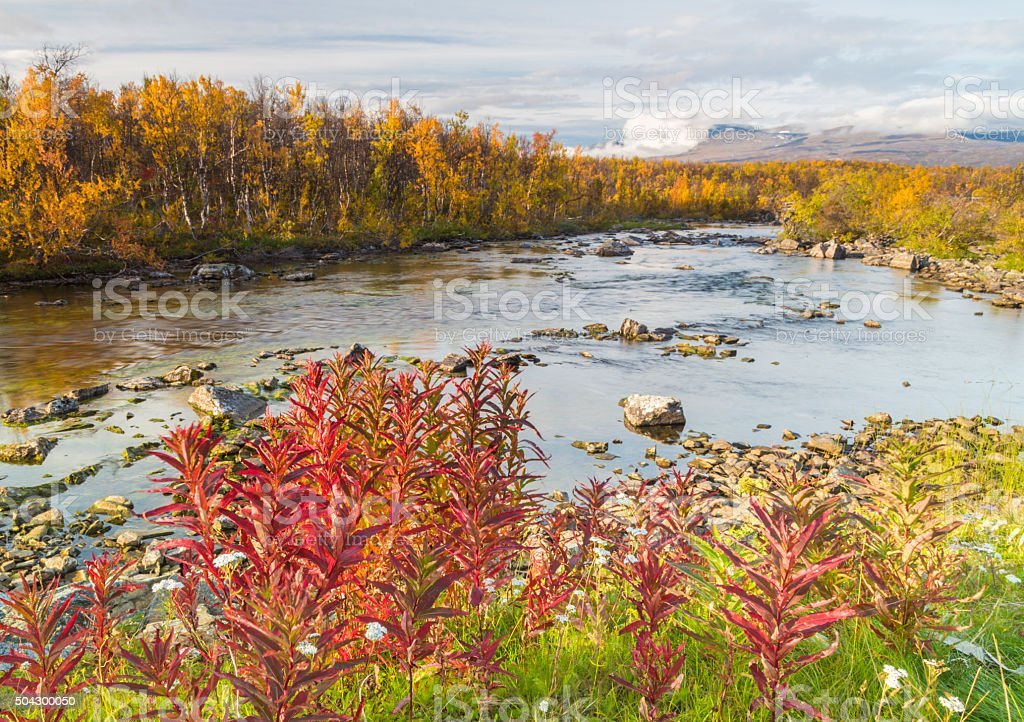 Fireweed in red and creek and mountains stock photo