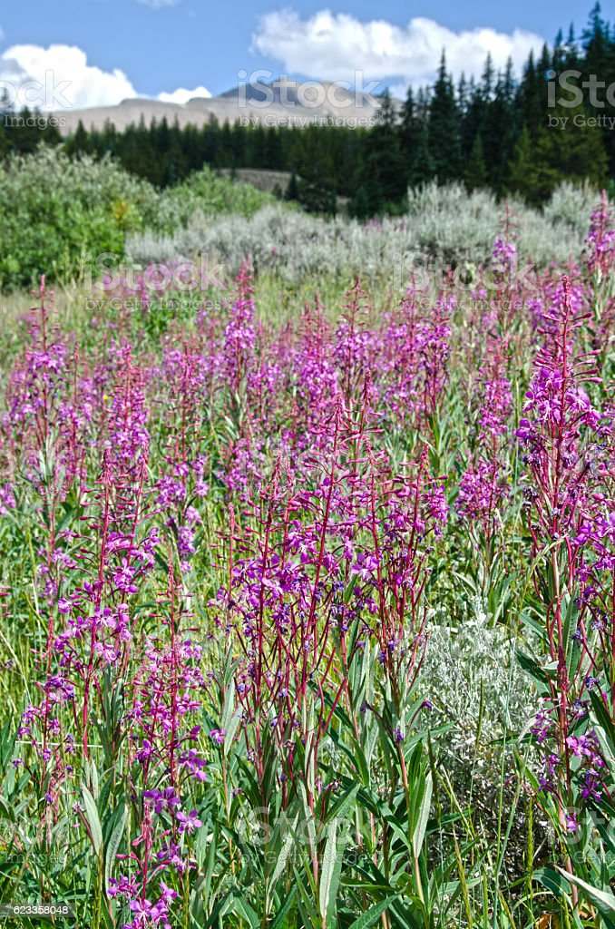 Fireweed in the Leadville Mining District stock photo