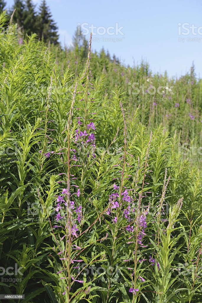 Fireweed (Chamerion angustifolium ) in the wind stock photo