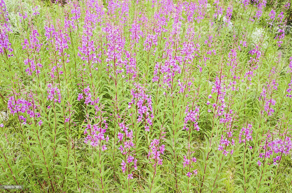Fireweed meadow in Jotunheimen in summer royalty-free stock photo