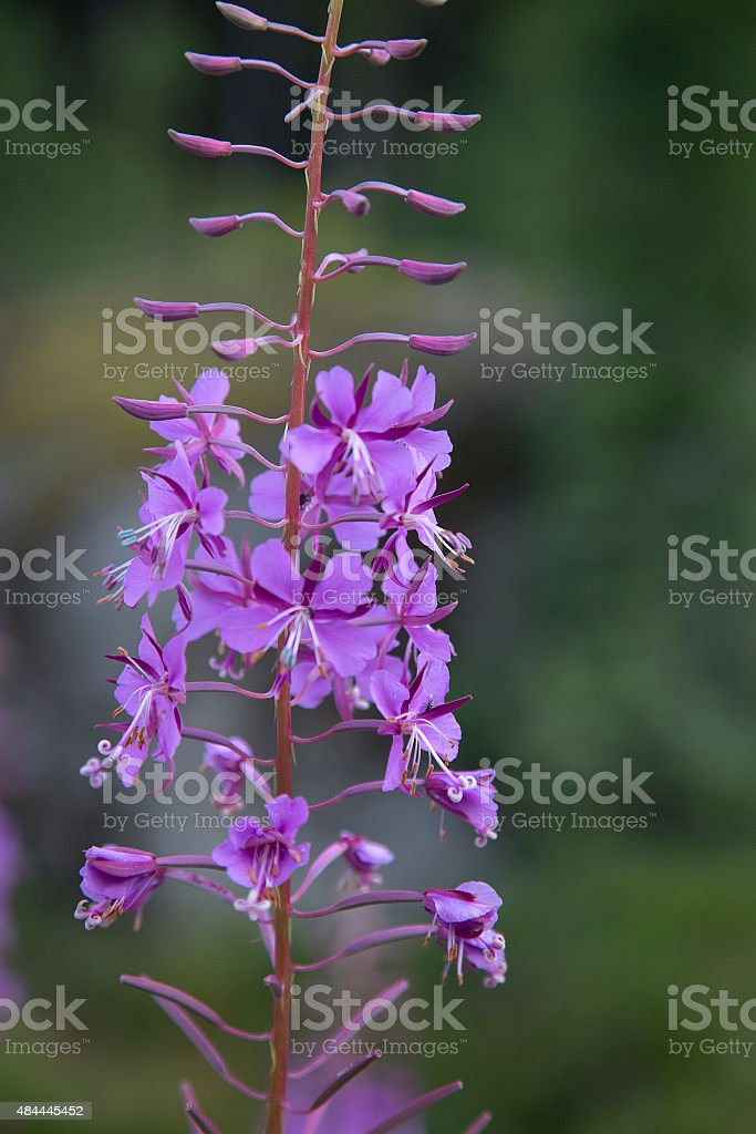 Fireweed or Rosebay Willowherb stock photo