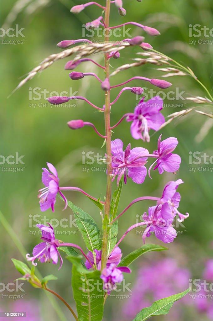 Fireweed (Chamerion angustifolium) stock photo