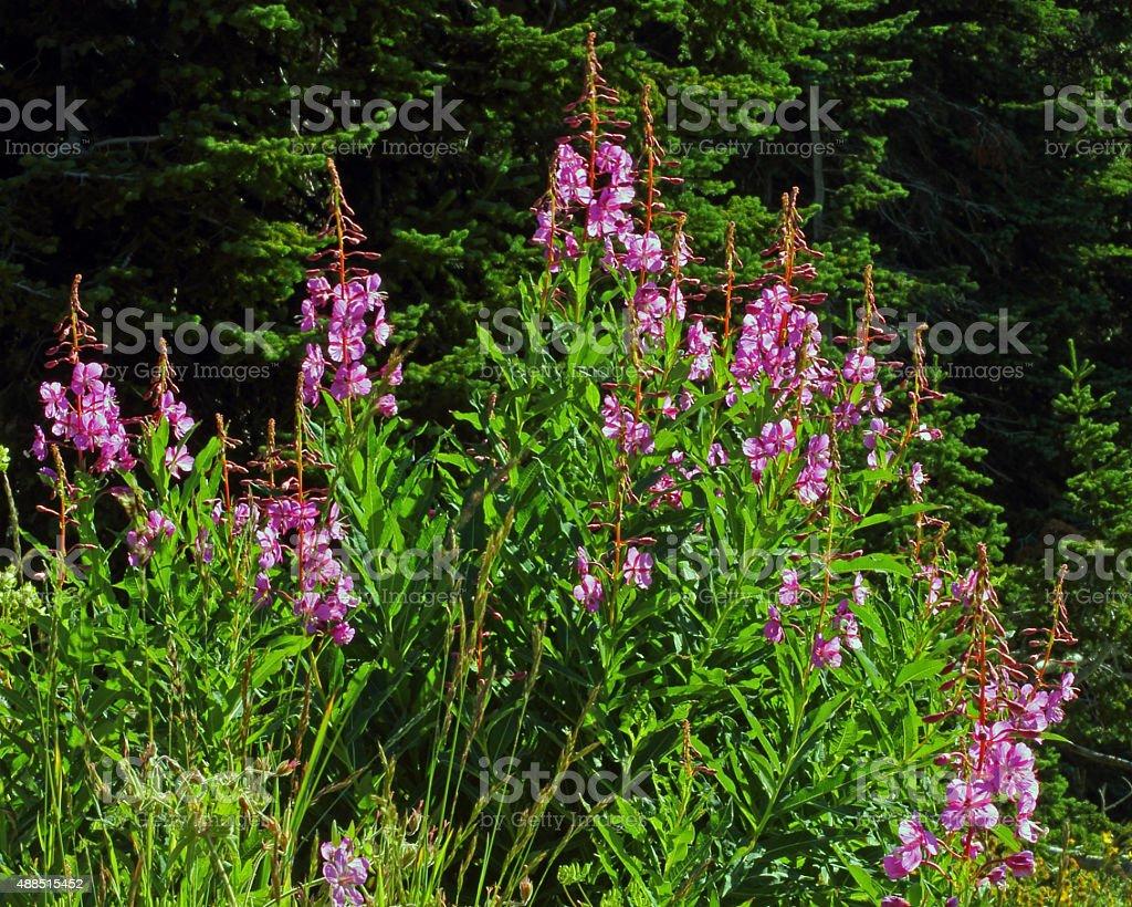 Fireweed stock photo