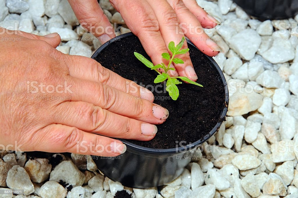 Firming in a tomato seedling. stock photo