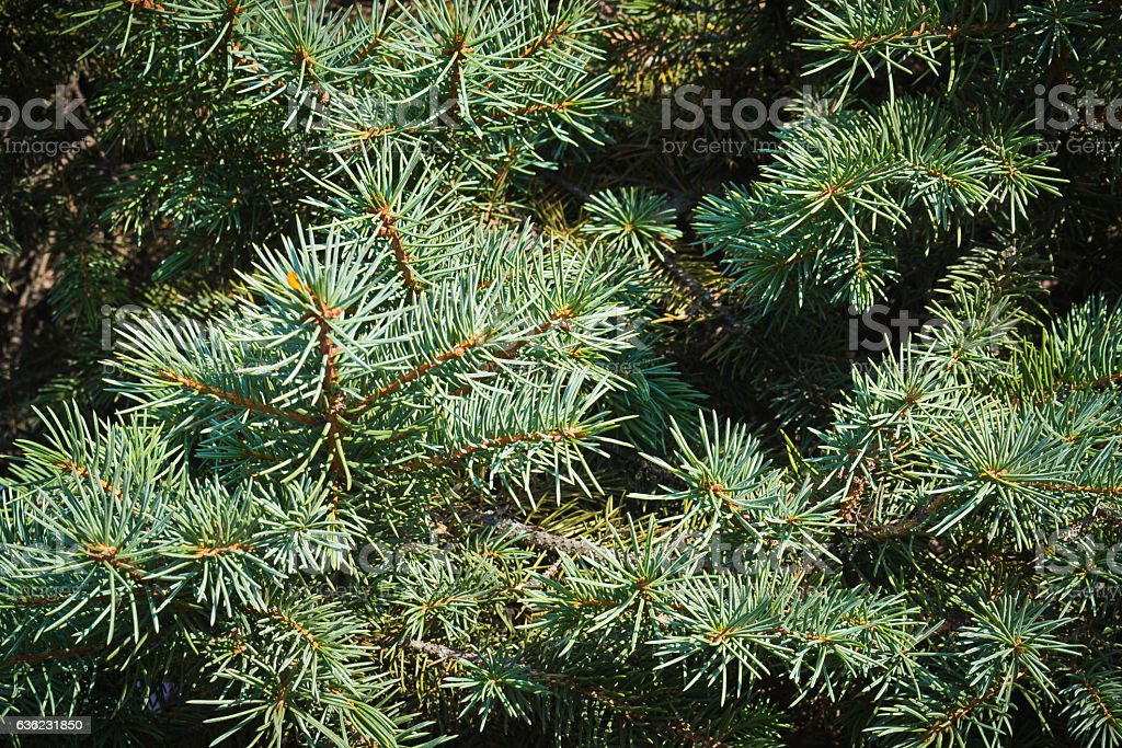 firry needled branches stock photo
