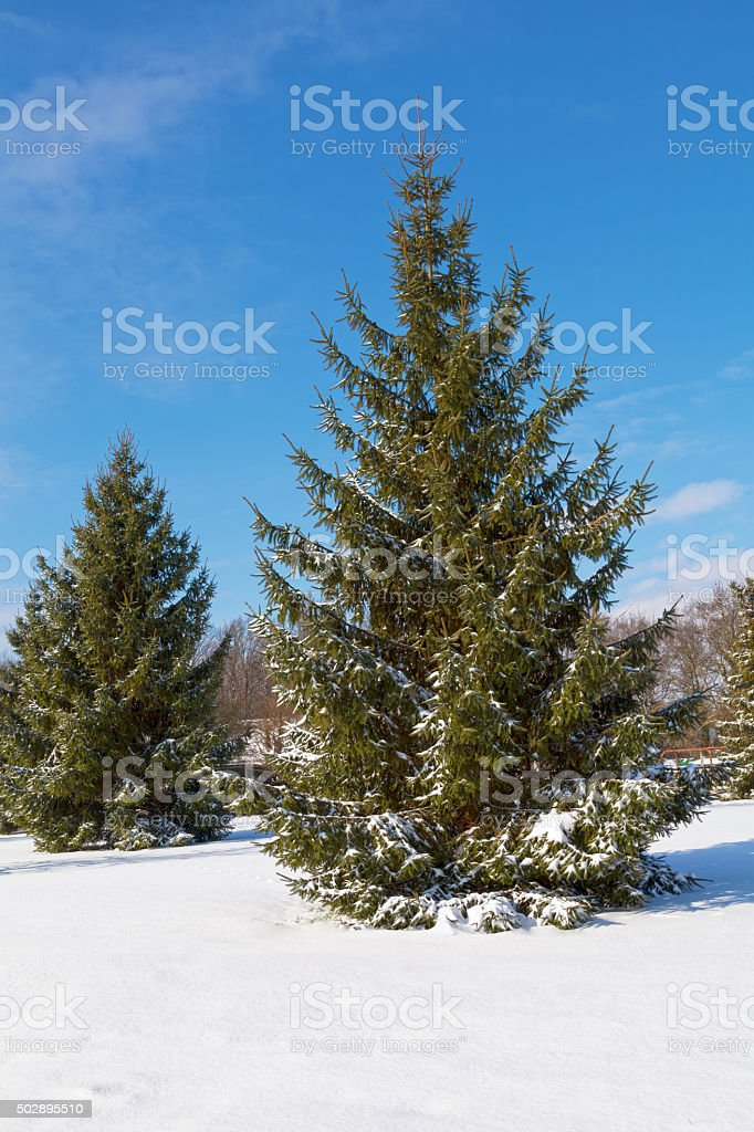 Tannen im winter – Foto