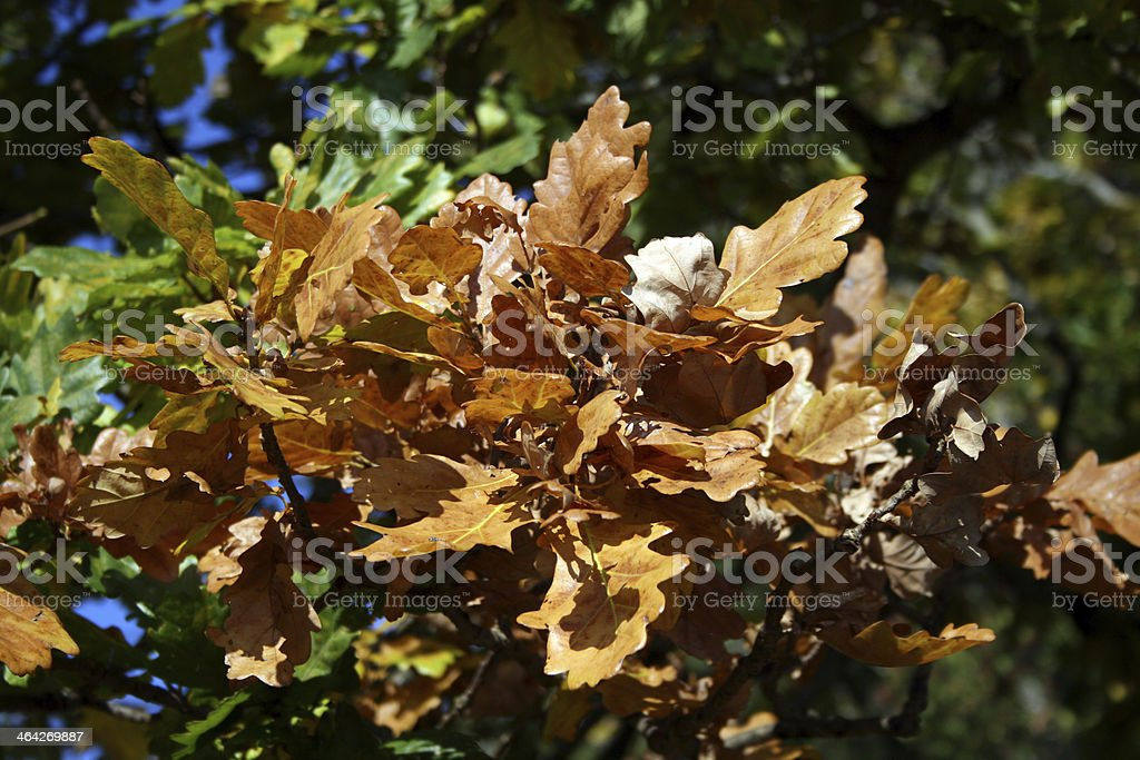 first brown leaves in fall stock photo