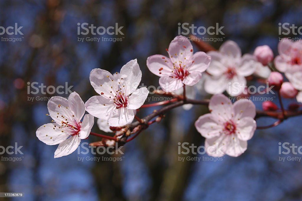 First Cherry Blossom royalty-free stock photo