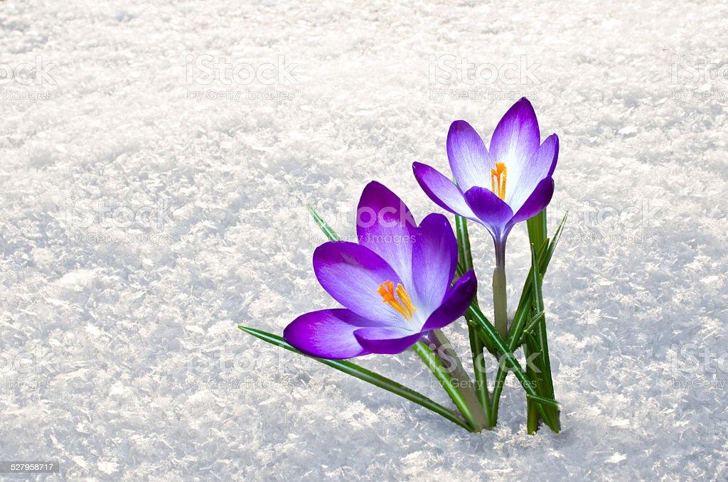 first crocus flowers stock photo