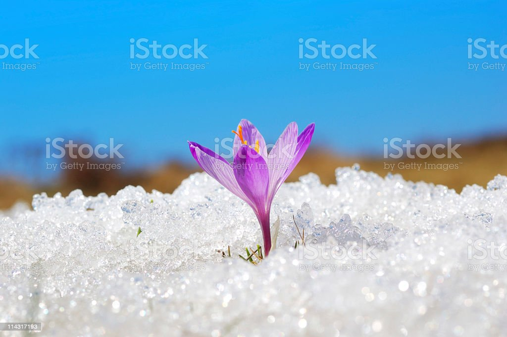 First Crocus stock photo