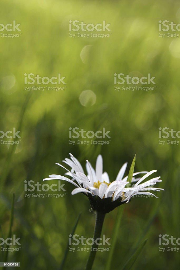 First daisy royalty-free stock photo