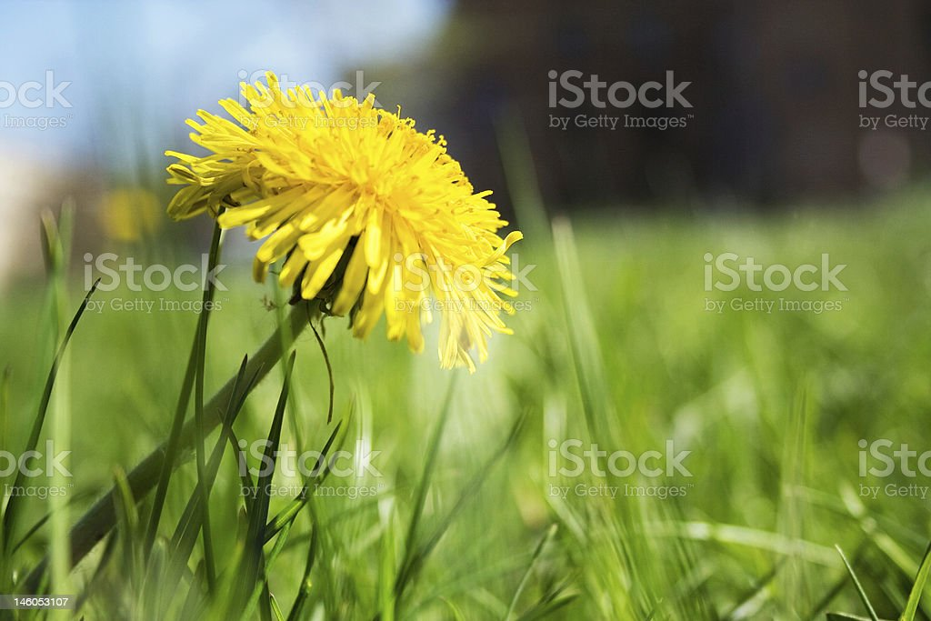 first dandelion stock photo