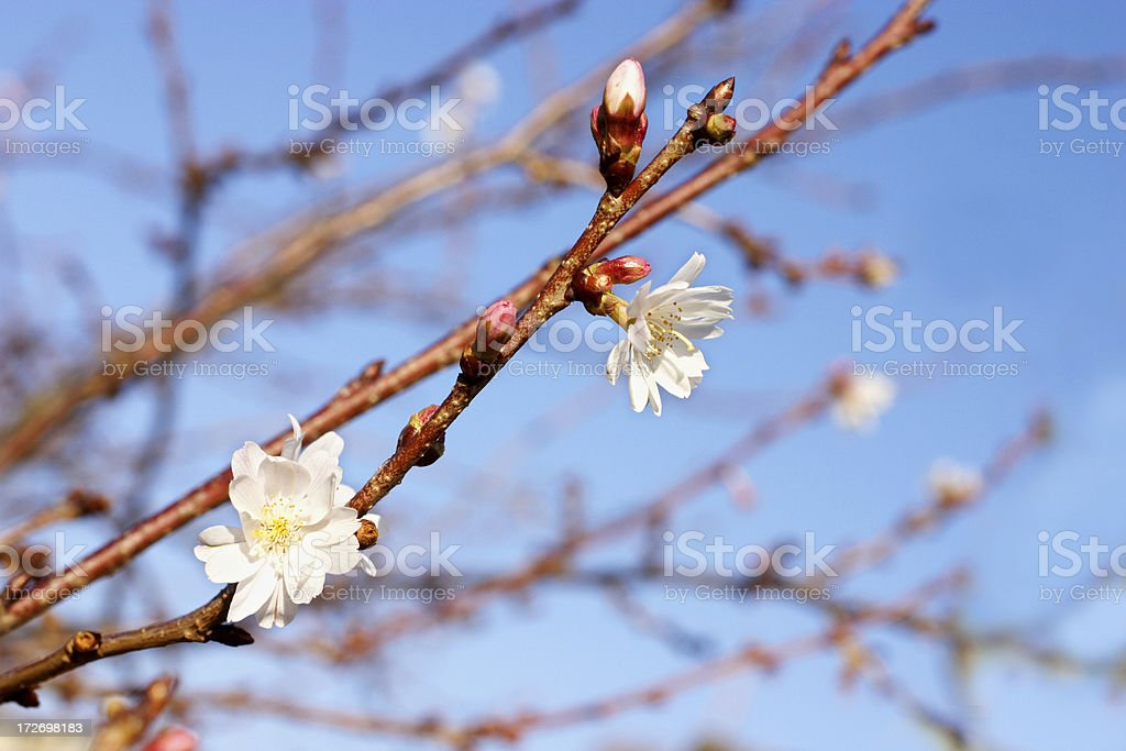 First flowers of the Cherry blossom - Prunus yedoensis royalty-free stock photo