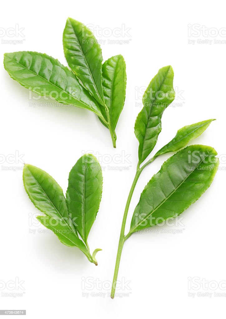 First flush leaves of Japanese green tea stock photo