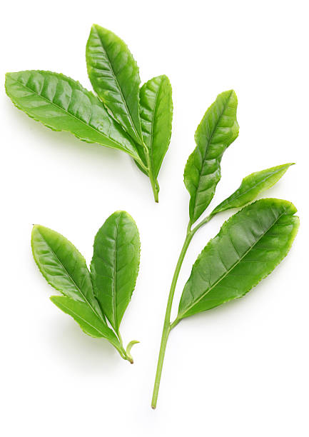 Camellia Sinensis Pictures, Images and Stock Photos - iStock