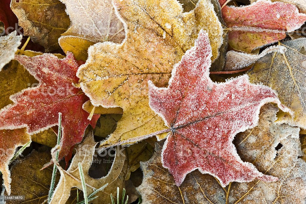 First Frost royalty-free stock photo