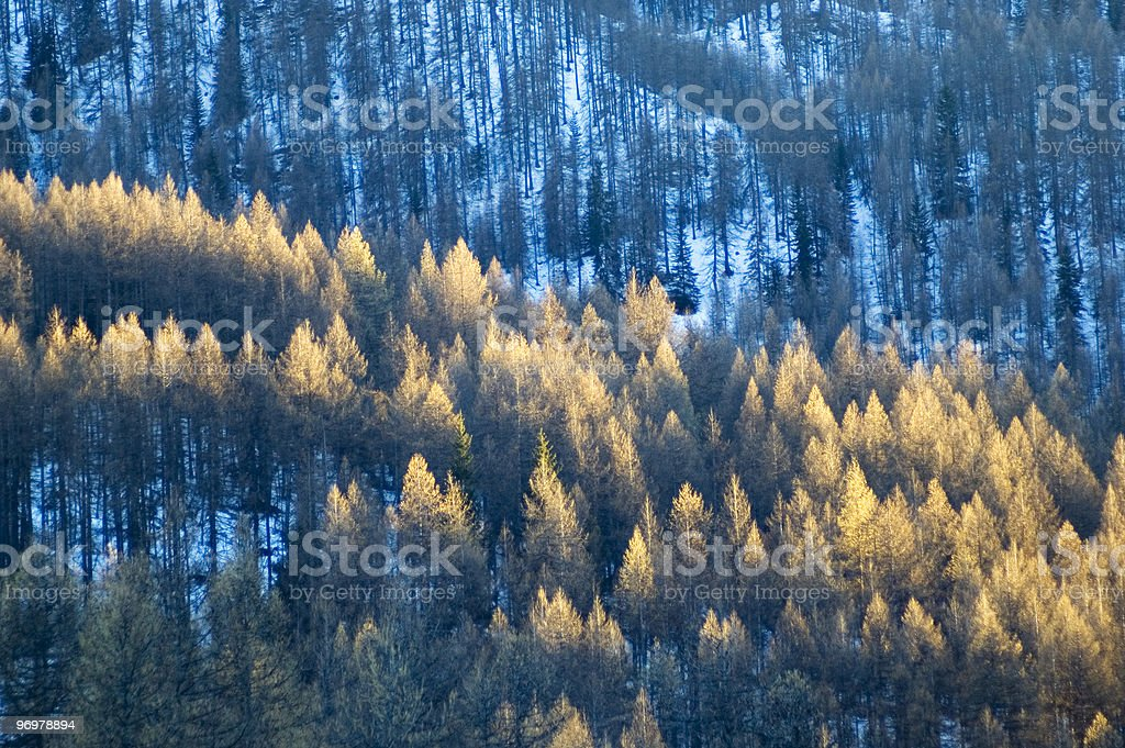 First golden sunny rays over the pines stock photo