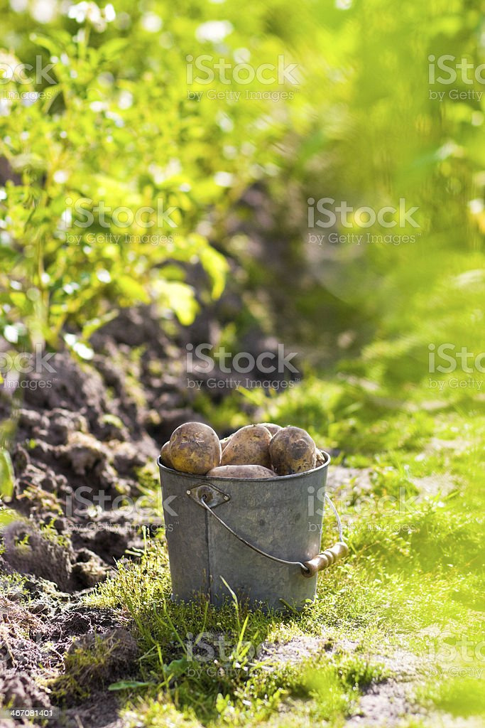 First harvest of potatoes in garden royalty-free stock photo