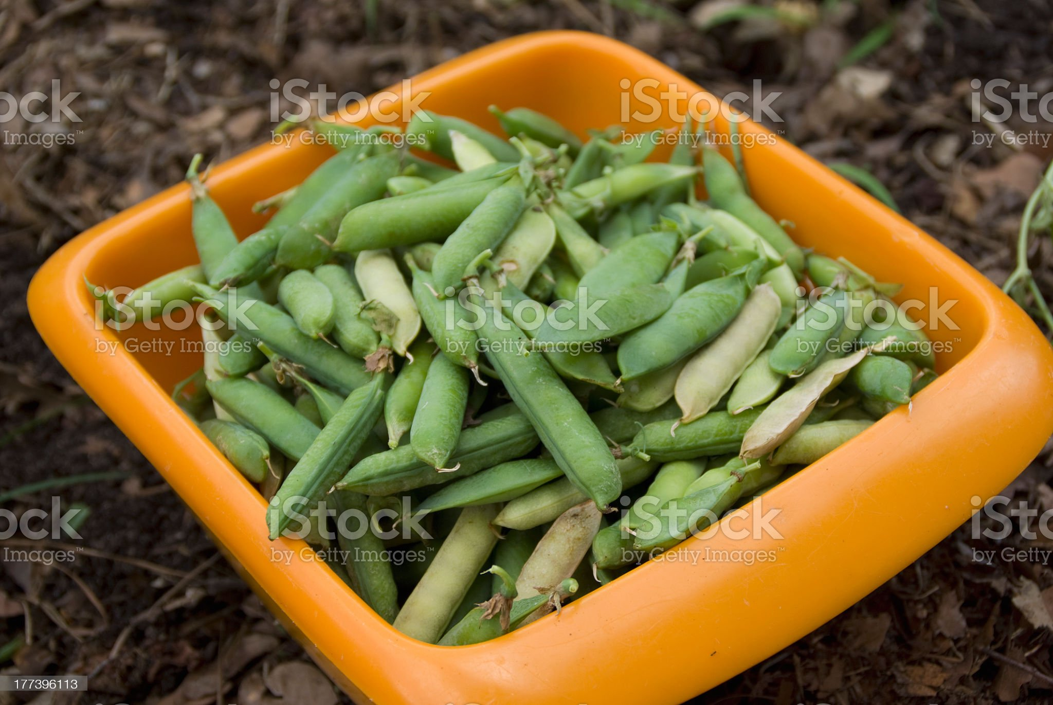 First Harvest royalty-free stock photo