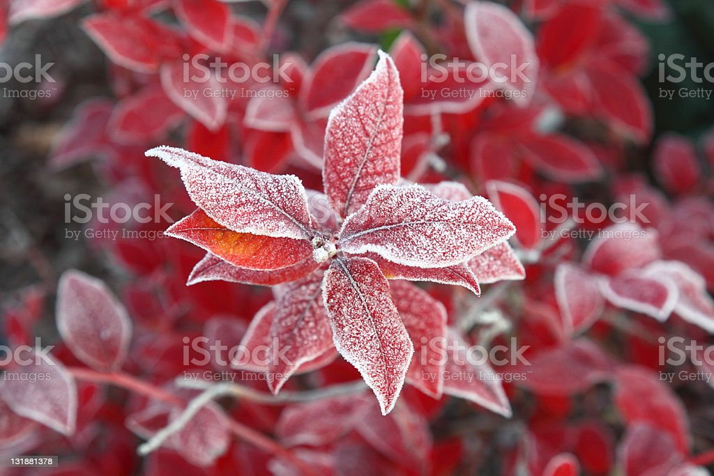 First ice on red leaves stock photo