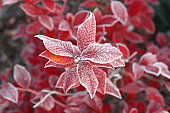 First ice on red leaves