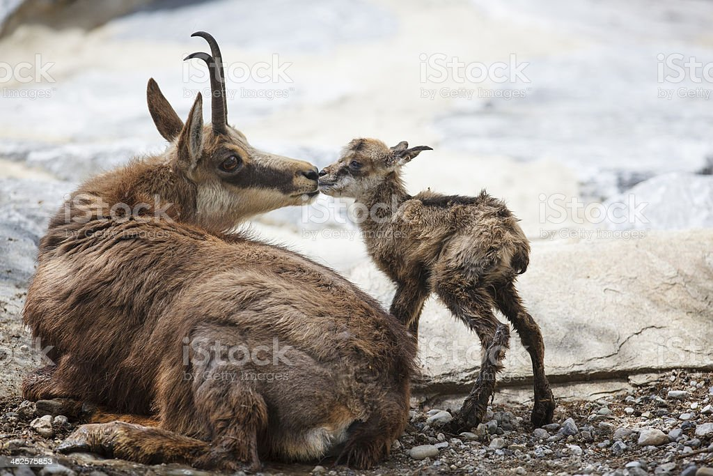 First kiss for newborn chamois (Rupicapra Carpatica) stock photo