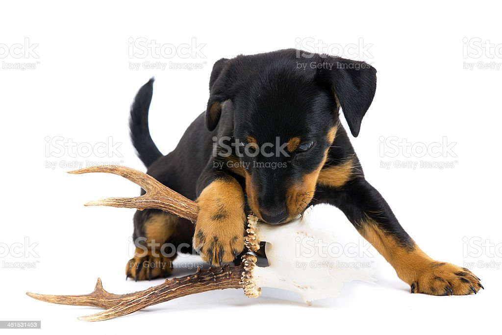 First lesson for German Hunt Terrier stock photo