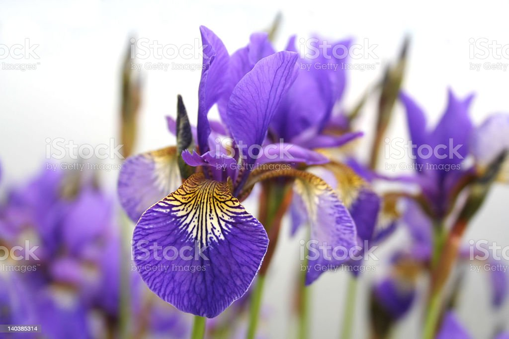 First plane of violet flowers with nice petals, isolated royalty-free stock photo