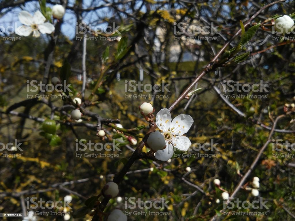 First rings of plum tree stock photo