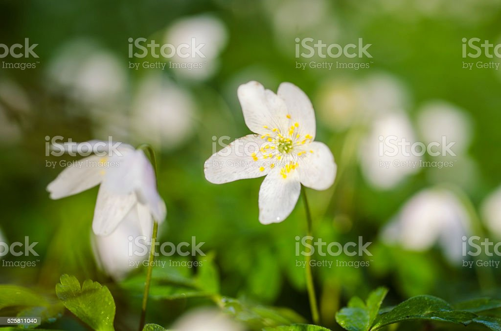 First signs of spring. Anemones, closeup stock photo