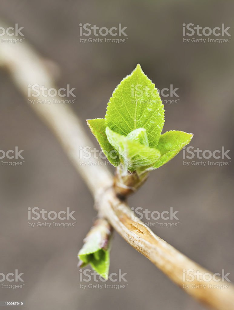 first small green leaves in spring stock photo