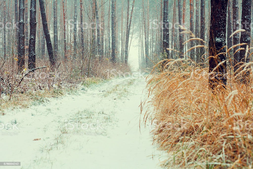 First snow in the pine forest stock photo