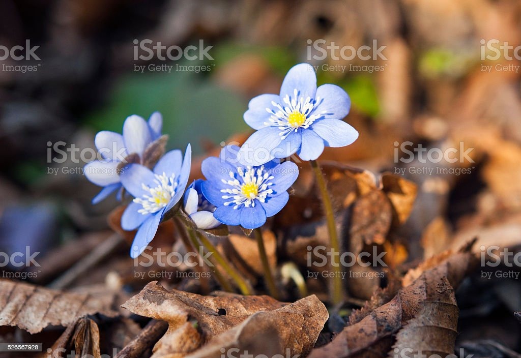 first spring blue flowers stock photo